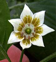 Baccatum Flower Showing Spots on the Corolla