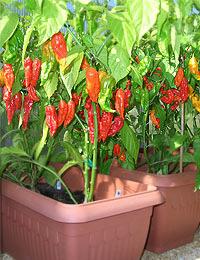 Bhut & Bih Jolokia, Greenhouse