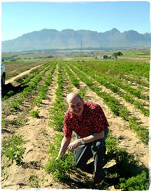 Dave Inspects the First Peri-Peri Planting
