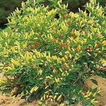 Pepper Profile: Frutescens Species