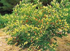 Maturing Tabasco Plant