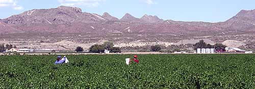Chile pickers in a field near Las Cruces, NM