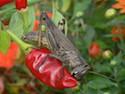 Grasshopper on a Pepper