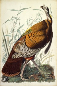 John James Audubon's American Turkey