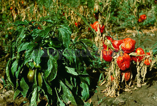Phytophthera root rot damage to pepper field.