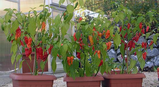 Bhut Jolokia, Bih Jolokia, and Naga Morich Plants