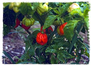 Bonney Peppers on the Bush