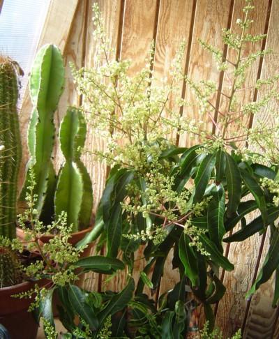 Blooming Mango