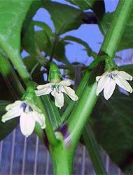 Morich Flower