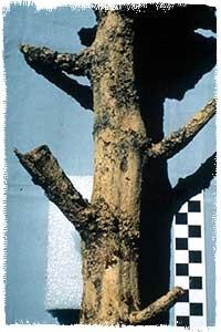 plaster cast of a chile stem