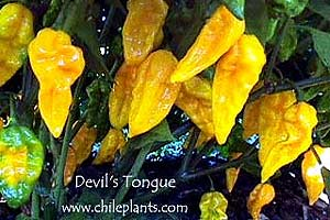 Chile picture from the chileplants.com Web site