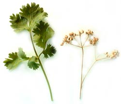 Cilantro: Fresh Leaves, Dried Seeds