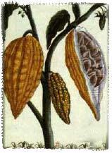 Cacao botanical print