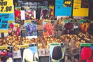 Tulip Bulb Shop