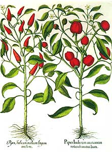 Chile Botanical Print