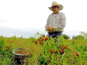 Harvesting Red Chile