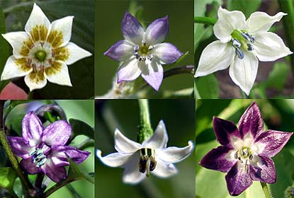A selection of Pepper Flowers