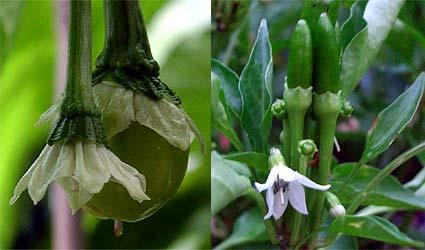 Fruit Development