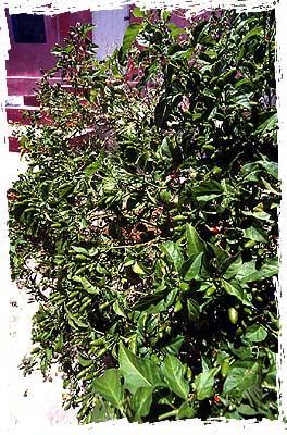 Bird Pepper Bush