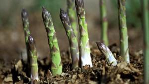 grow-asparagus_ef4c4e374b7d96ff