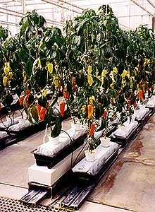 Hydroponically grown peppers at EPCOT