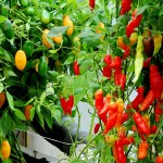 Forget the Soil! Grow Hydroponic Chiles