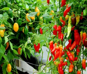 hydroponic peppers