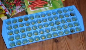 Icecube Tray for Soaking Seeds