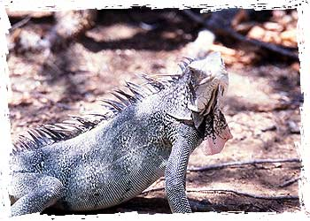 A candidate for iguana soup?