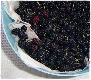 Harvested black mulberries