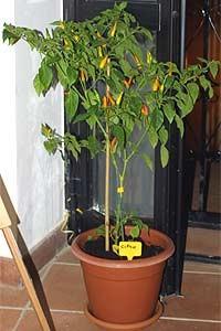 mus_plant_cypr