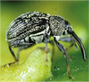 Pepper Weevil