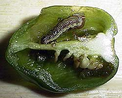 Pepper Maggot