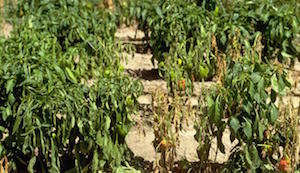 Phytophthora on Peppers