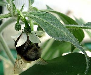 Bumblebee on a serrano flower
