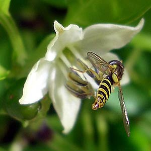 Hover Flies and other Insects helping Pollination