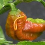 Capsicum chinense Mutant Pods
