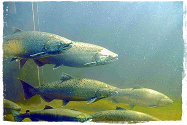 Salmon heading upstream