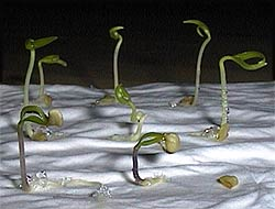 Seedlings, 3 days after germination