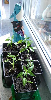 Seedlings getting used to Sunlight
