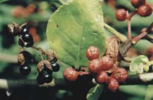 Sichuan Pepper Plant