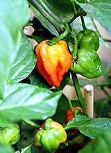 Capsicum Chinense Variety