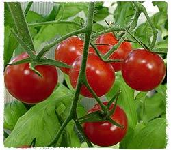 Tomato (Variety: Sweet 100)