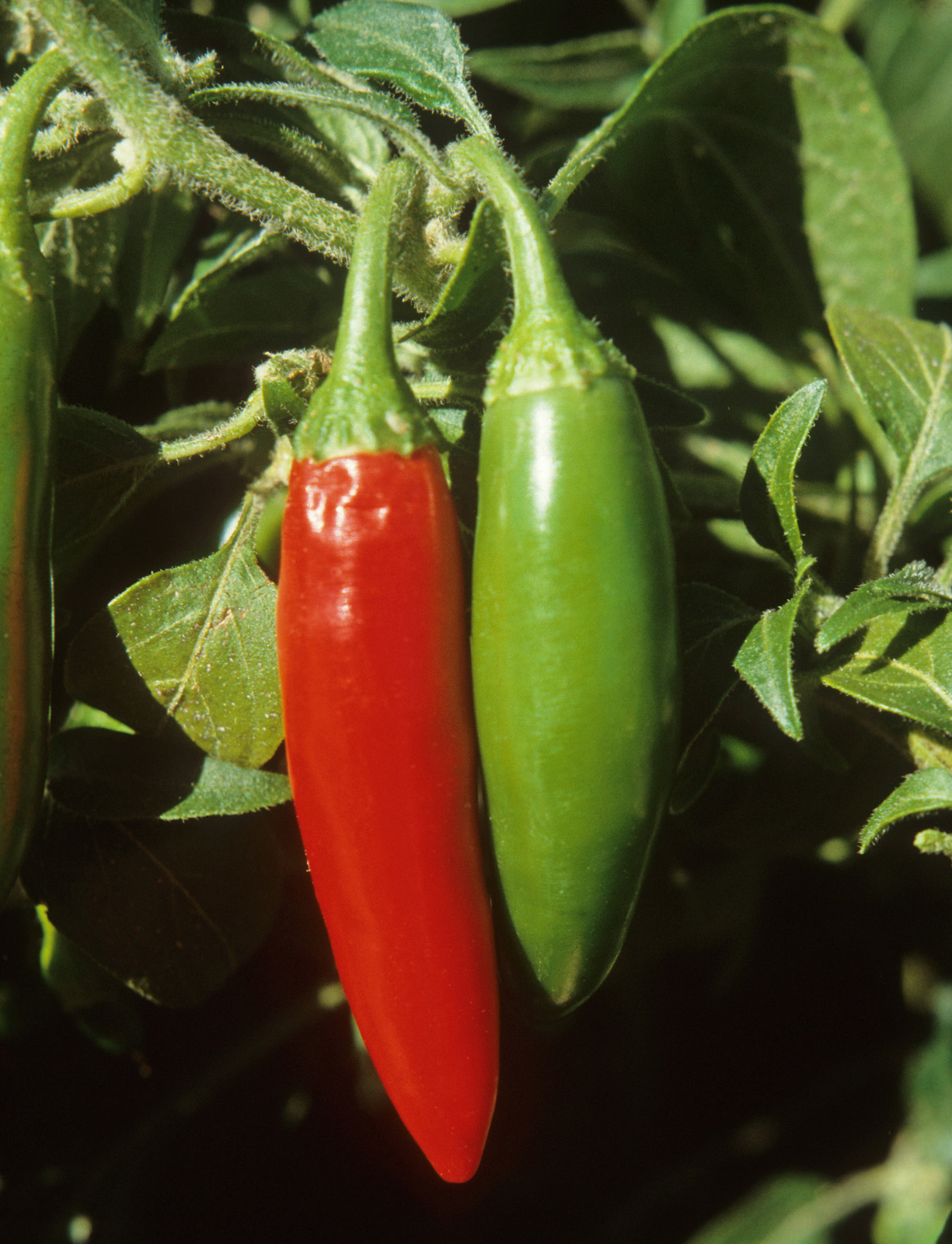 Two Chile Pods