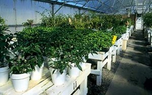 Potted peppers in Paul's NMSU greenhouse