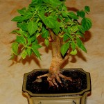 A Rocoto Bonsai from Finland