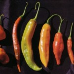 Baccatum Bacchanalia! Growing and Cooking with Ají Chiles