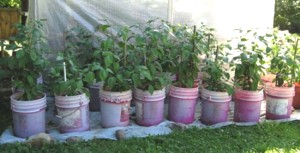 Chiles in Containers