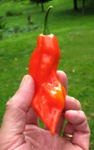 Demon Habanero