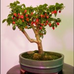 A Hybrid Bonsai Chile Plant